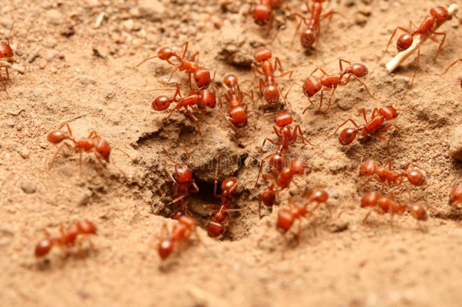 red-ants-6627796